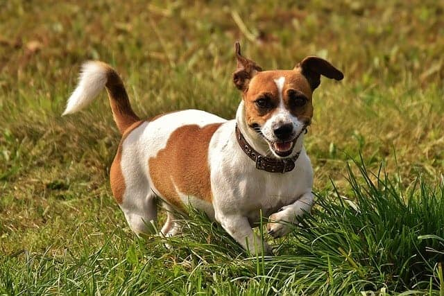 Best small dogs for hiking Jack Russel Terrier